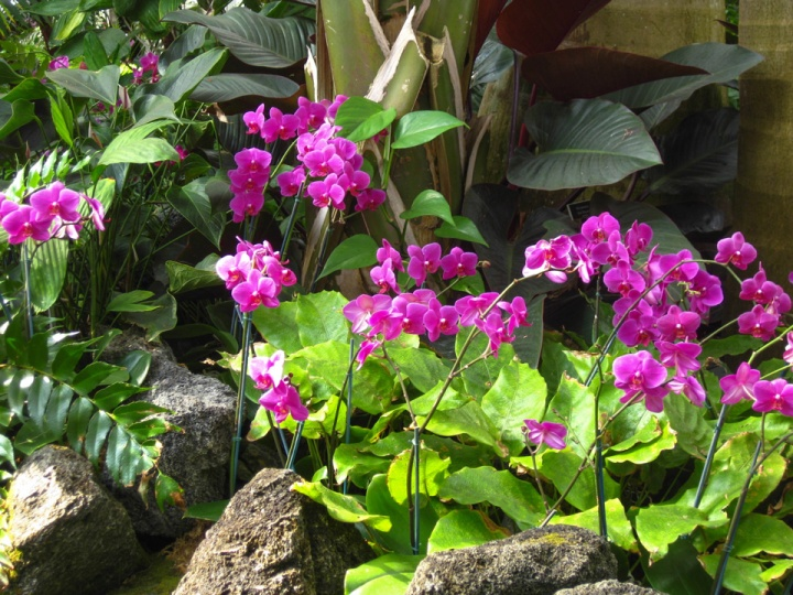 """""""Phalaenopsis"""" or """"Moth Orchids"""""""
