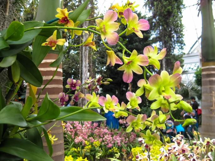 """""""Dendrobium """""""